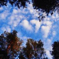 Сосны, небо. :: Антонина Гугаева