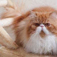 Рыжий кот мыслящий :: Анатолий Тимофеев