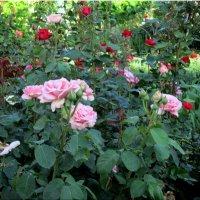 Розы в  моём саду.... :: Тамара (st.tamara)