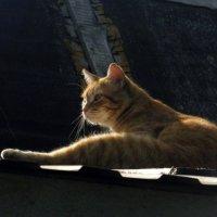 Солнечный кот. :: Елена
