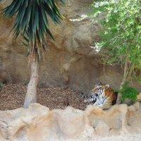Тигр в Лоро Парке :: Елена Павлова (Смолова)