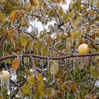 Ледяные яблоки :: Валерий Шибаев
