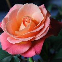 Роза :: Елена Паламарчук