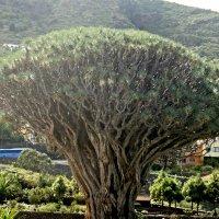 Городок Икод де лос Винос, парк del Drago, Тенерифе. Одно из древнейших драконовых деревьев :: Елена Павлова (Смолова)