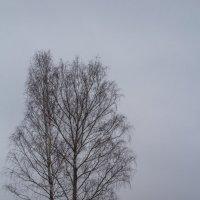 Зимняя березка :: Славомир Вилнис