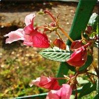 Сочетание розового :: Лидия (naum.lidiya)