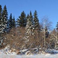Сибирский лес в ноябре :: Вера Андреева