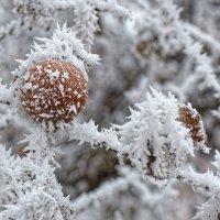 Яблоки игольчатые :) :: Валерий Шибаев