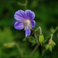 Скромный цветочек. :: Anna Gornostayeva