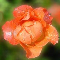 Роза в россыпи дождинок! :: Наталья