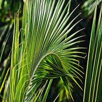Ритм пальмового листа 3 :: Татьяна Губина