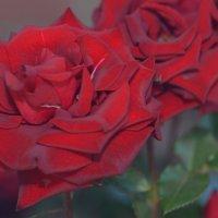 роза :: Сергей Двухгрошев