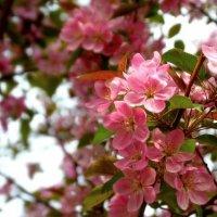 Яблоня в цвету :: Юлия