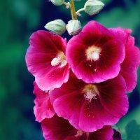 Цветы :: vadika55 Васковский Вадим