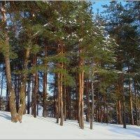 Сосны в снегу. :: Роланд Дубровский