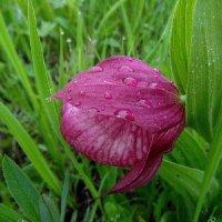 Дикая орхидея-Венерин башмачок. :: nadyasilyuk Вознюк