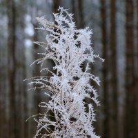 Заинеевший цветок в лесу. :: Анатолий Клепешнёв
