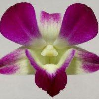 Цветок орхидеи :: Дмитрий Бубер