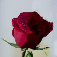 Роза для души :: Илонна Герман
