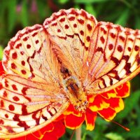 И снова бабочки прелестные черты... :: Жанна Савкина