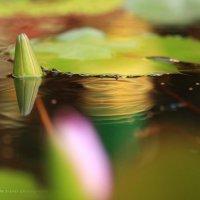 Lotus Flowers :: Анастасия Кононенко