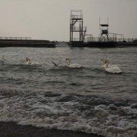 Ах белые лебеди зимовка :: Alex Romanov