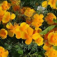 солнечные цветы :: валерий телепов