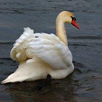 Лебедь :: Владимир Орлов