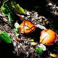 Грибочки в горном лесу РСО-Алания :: Zak Doguzov