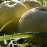 Дедушкины яблочки наливные... :: Виктория Годына