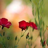 Красный лен :: Ирина Татьяничева