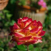 Двухцветная роза :: Ирина Татьяничева