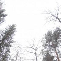 где сосны рвутся в небо) :: Полина Бавкунова