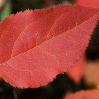 Красный лист осени :: Сергей Беляев