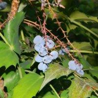 не знаю как называется эта ягода.. :: Надежда Пономарева (Молчанова)