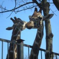 любовь в зоопарке :: Лорис Глина