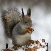 Белочка с орешком :: Александр Смирнов