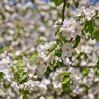 Яблони в цвету... :: Виктор Евстратов
