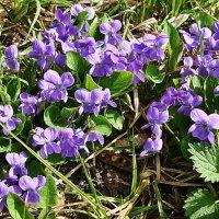 Сереневая нежность весны :: Лидия (naum.lidiya)