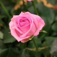 Моя роза. :: Надюша