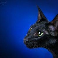 Черный кот :: Людмила Желонина