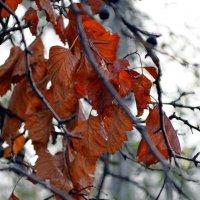 Последние листья :: Ростислав