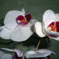 Орхидея :: Валентина Лисенкова