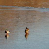 Утки на льду... :: Тамара (st.tamara)