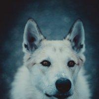 Husky :: Амбарцумян Тигран