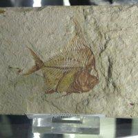 отпечаток древней рыбы :: tgtyjdrf