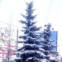 Елки :: Анатолий Бугаев