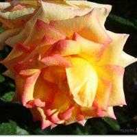 Склонила головку красавица роза :: Лидия (naum.lidiya)