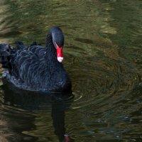 Черный лебедь Михайловского сада (Санкт-Петербург) :: Илья Кузнецов