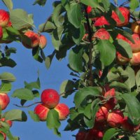Яблочки.. :: ONEGA SHVAGA